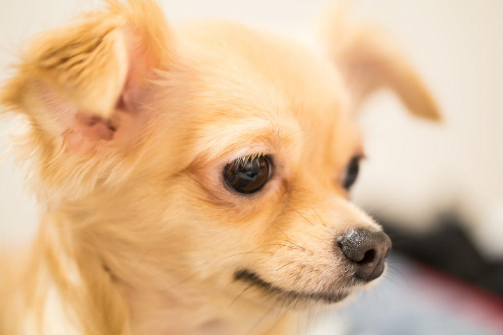 ソフトバンク風の犬