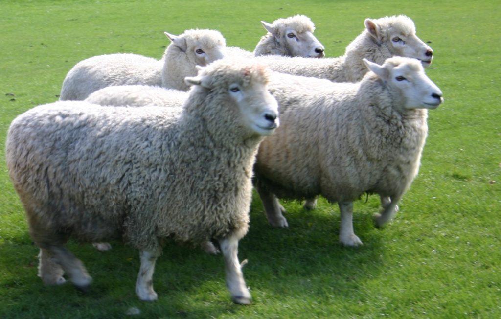 ニュージーランドの羊